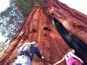sequoiathumb